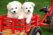 Playful Bichon Frise Puppies For free ....Now.