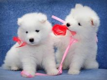 Snow white Samoyed Puppies available .