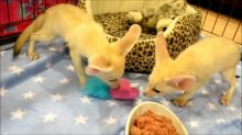 Male and Female Fennec Fox available