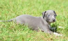 Beautiful cKc Registered Italian Greyhound Puppies Available -Text now (204) 817-5731