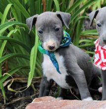 Charming, Elegant, Blue Italian Greyhound Pups Ready Now-Text now (204) 817-5731