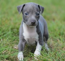 Registered Italian Greyhound Puppies For Re-Homing-Text now (204) 817-5731