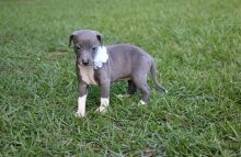 Sweet Italian Greyhounds Puppies Ready Now For Sale-Text now (204) 817-5731 Image eClassifieds4U