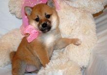 Family raised shiba inu puppies for adoption // EMAIL us at (riickkdonavan-7@mail.com)