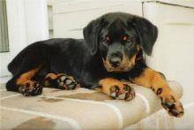 Rottweiler Puppies for R-Homing....///