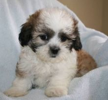 Cute Shih Tzu Puppies.