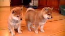 Family raised shiba inu puppies for adoption