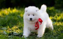 Free Beautiful Samoyed Puppies