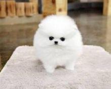 Healthy Pomeranian puppies available