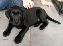 Labrador Retriever puppies ready for their new homes EMAIL us at (riickkdonavan-9@mail com)