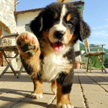 Male and female Bernese Mountain dog puppies for adoption.EMAIL us at(verronicadonavan3@email.com)