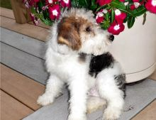 Pure Bred Full Pedigree Fox Terrier Pups-Text on (204) 817-5731)