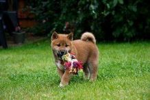 Quality Japanese Shiba Inu Puppies Ready Now-Text on (204) 817-5731)