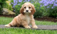 Sweet er Spaniel Puppies Ready-Text on (204) 817-5731)
