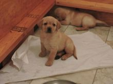 Well trained Labrador Retriever puppies ready for their new homes (riickkdonavan-9@mail.com)