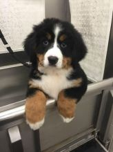 Male and female Bernese Mountain dog puppies for adoption. Image eClassifieds4U