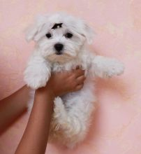 Adorable outstanding Maltese puppies