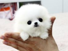 Amazingly stunning Teacup Pomeranian Puppies Available For New Homes