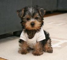 Angelic Teacup Yorkie Puppies In Need Of A New Family