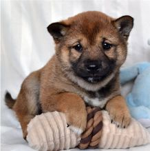 Cute Shiba Inu Puppies Seeking A New And Forever Home.