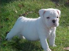 Super Cute English Bulldog Puppies For New Homes