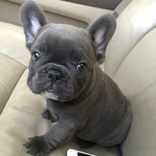 FANTASTIC FRENCH BULLDOG PUPPIES AVAILABLE FOR LOVING FAMILIES. Image eClassifieds4U