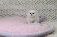 Amazing Blue Eyes Persian Kittens Ready Now -Text On ( 813-586-0441 )