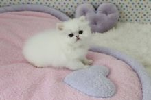 CFA Reg Persian Kittens Ready For Good Homes-Text On ( 813-586-0441 )