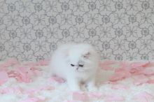 Extremely Cute Persian Kittens looking for good homes!-Text On ( 813-586-0441 )