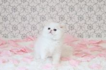 GCCF Reg Persian kittens Ready For Good and Lovely Homes-Text On ( 813-586-0441 )