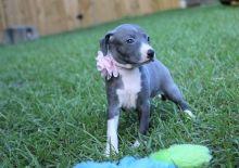 Gorgeous Italian Greyhound Pups Ready Now-Text on ( 204-817-5731)