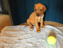 Home Trained Rhodesian Ridgeback Pups Ready Now-Text on ( 204-817-5731)