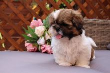 Male and Female Shih Tzu Puppies Available