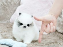 Male and Female Tea Cup Pomeranian puppies