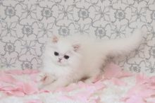 Male & Female Persian Kittens Now Available-Text On ( 813-586-0441 )