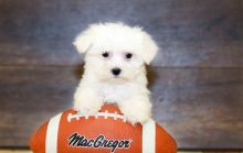 Outstanding Maltipoo Puppies (ready Now).Text on (204) 817-5731)