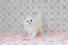 Quality Blue Eyes Persian Kittens For Sale-Text On ( 813-586-0441 )