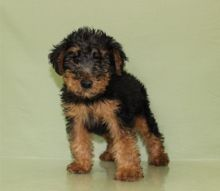 Welsh Terrier Puppies For Good Homes-Text on ( 204-817-5731)