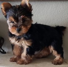 Yorkshire Terrier Puppies For Sale-Text on ( 204-817-5731)