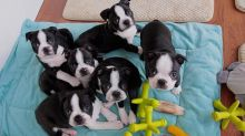 Ckc/ akc registered Boston Terrier Puppies