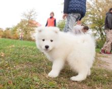 Samoyed Puppies Available. (CKC Reg)