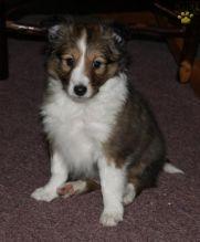 Sheltie Puppies Available. (CKC Reg)