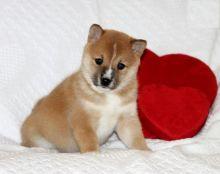 Shiba Inu Puppies Available. (CKC Reg)