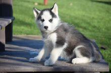 Siberian Husky Puppies Available. (CKC Reg)