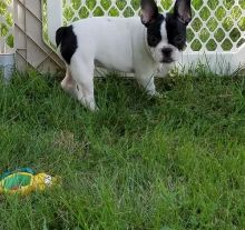 French Bulldog Puppies Available TEXT (571) 310-3529