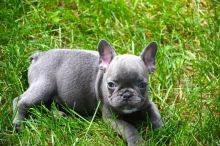 Gorgeous French Bulldog Puppies TEXT (571) 310-3529