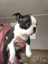 Beautiful Boston Terrier Puppies for sale, Text me at: 406-219-1012