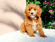 Beautiful Cavapoo Puppies for sale, Text me at: 406-219-1012