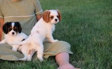 Cavalier King Charles Pups For Sale.-Text now (204) 817-5731