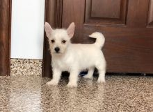 West Highland White Terrier Pups For Sale-Text now (204) 817-5731